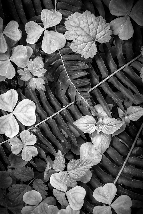 Intimate black and white landscape featuring ferns and wood sorel on the forest floor of th Hoh Rainforest in Olympic National Park, Washington, USA