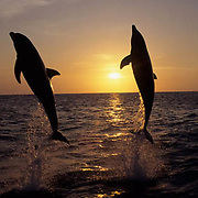 Bottlenose Dolphin, (Tursiops truncatus) Jumping in the Gulf of Mexico. Sunset. Honduras. Controlled Conditons.
