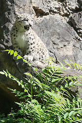 13.08.2015, Zoo, Koeln, GER, Schneeleoparden Nachwuchs, im Bild Der kleine Schneeleoparden Kater Barid bei seinem ersten Ausflug ins Freigehege // the little snow leopard barid in his first excursions at the Zoo in Koeln, Germany on 2015/08/13. EXPA Pictures © 2015, PhotoCredit: EXPA/ Eibner-Pressefoto/ Schueler - Pressefoto<br /> <br /> *****ATTENTION - OUT of GER*****