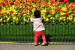 © Licensed to London News Pictures 24/04/2013.A toddler looks at flowers in bloom, during the warm weather and sunshine in St James Park, central London..London, UK.Photo credit: Anna Branthwaite/LNP