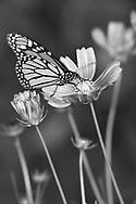 A Monarch Butterfly On Flowers, Danaus plexippus