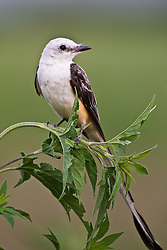 Scissor-tailed flycatcher (Tyrannus forficatus) on perch, Trinity River Audubon Center, Dallas, Texas, USA.