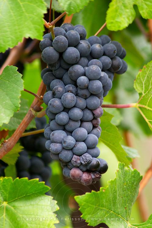 grape bunch eguisheim alsace france