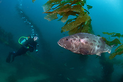 Dylan Strickland observes a young Giant Black Seabass, Stereolepis gigas, hovering among stalks of giant kelp. Casino Point, Avalon, Catalina Island, California, USA, Pacific Ocean