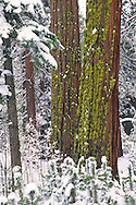 Snow-covered trees in winter near South Lake Tahoe, California