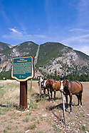 Horses begging for apples and other treats (which are often provided by tourists) near the town of Hedley, British Columbia, Canada