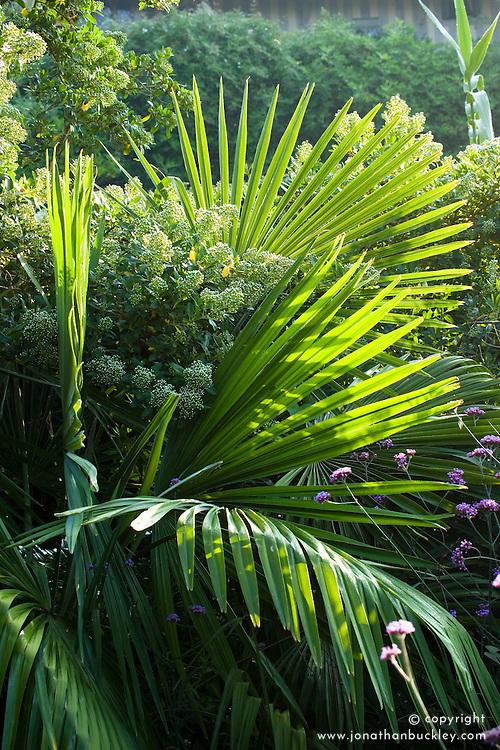 Escallonia bifida with Trachycarpus fortunei