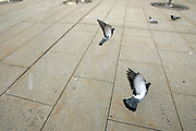 Pigeons in New Jersey in flight.