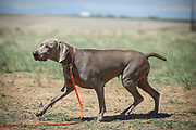 SHOT 5/9/20 11:22:19 AM - Various pointing breeds compete in the Vizsla Club of Colorado Licensed Hunt Test Premium at the Rocky Mountain Sporting Dog Club Grounds in Keenesburg, Co. (Photo by Marc Piscotty / © 2020)