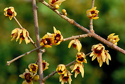 Chimonanthus praecox. Wintersweet