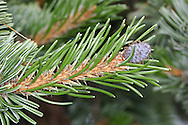 Rocky Mountain Bristlecone Pine Pinus aristata (Pinaceae) HEIGHT to 10m. Small, slow-growing tree. LEAVES Needles, 2–4cm long, dark green, often flecked with white resin; turpentine-scented and persist for many years. REPRODUCTIVE PARTS Cones, to 6cm long; 6mm-long spine on each scale. STATUS AND DISTRIBUTION Native to Rocky Mountains, rarely planted here.