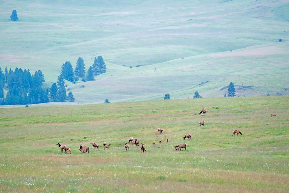 Herd of elk cows and calves, Zumwalt Prairie, Oregon.