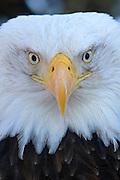 Bald Eagle, Haliaeetus leucocephalus, Portrait, Kenai Peninsula, Homer Spit, Homer, Alaska. Digital original, #2006_0547 ©Robin Brandt