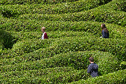 Three people lost in a laurel maze.