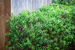Hebe grown as a hedge