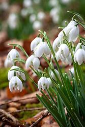 Galanthus nivalis f. pleniflorus 'Flore Pleno' - Double snowdrops