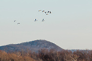 Wawayanda, New York - Snow geese fly over a farm field on March 22, 2015.