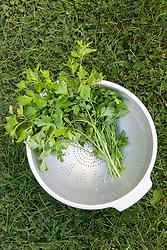 Picked parsley in a colander. Petroselinum crispum