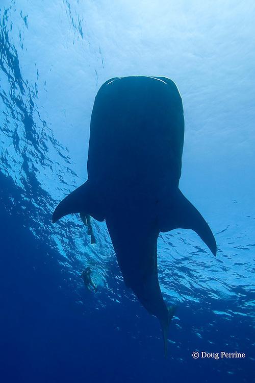 whale shark, Rhincodon typus, and snorkelers, Kona Coast, Hawaii Island ( the Big Island ), Hawaiian Islands, USA ( Central Pacific Ocean )