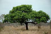 Sjambok pod, Cassia abbreviata, Limpopo, South Africa, medium -sized tree occurring in Bushveld. Named after the exceptionally long pods which remain on the tree for a long time.