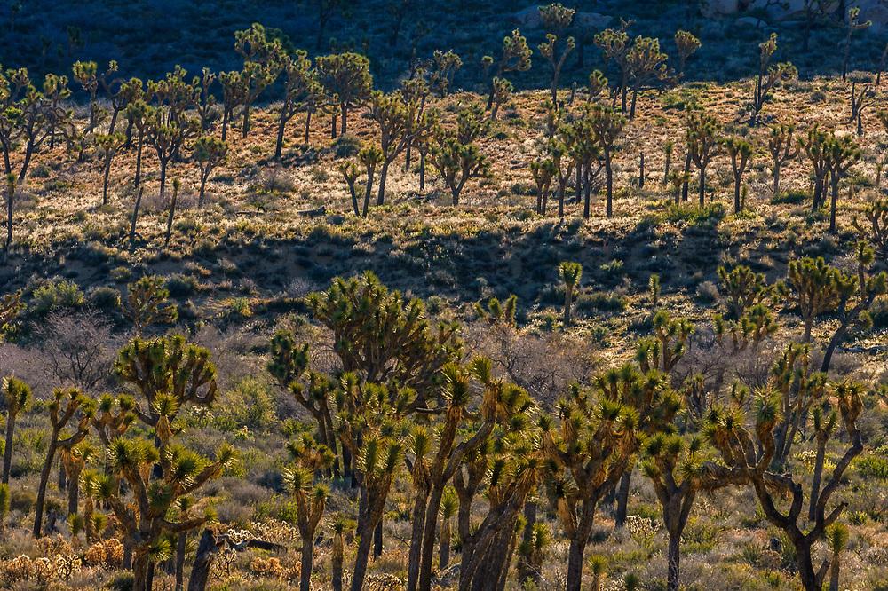 Joshua trees, (Yucca brevifolia), morning light, April, Hidden Valley, Joshua Tree National Park, Mojave Desert, California, USA