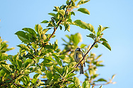 """Female adult blue-tit enjoying some """"chill"""" time at the top of the nesting tree on the day after the chicks fledge from the nest box."""