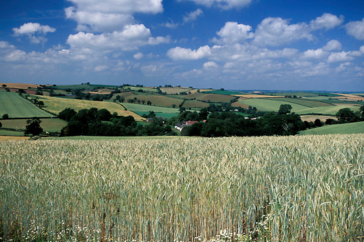 Field of half ripe corn and rolling hills of countryside of Southern England