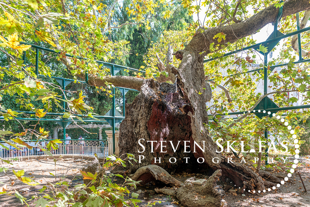 Kos Town.  View of the tree of Hippocrates at the Square of Hippocrates. The tree is oriental plane tree. Kos is part of the Dodecanese island group and birthplace of the ancient physician and father of medicine, Hippocrates.