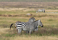 Grant's Zebra, Equus quagga boehmi, defecating in Ngorongoro Crater, Ngorongoro Conservation Area, Tanzania