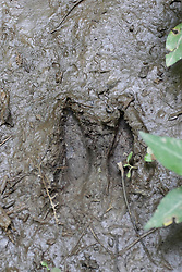 14 June 2015:   hoof print from a white tail deer is in the mud in the woods at Funks Grove Illinois.  Funks Grove is located along historic Route 66, south of Bloomington Normal and north of McLean.  The small town still has an old but non-functional railroad depot, a country store and grain storage and processing facility.  A mile west, is the grove, a country church, outdoor chapel, nature center, cemetery and hiking trails.  The maple trees in the grove are tapped late every wither for sap which is turned into sirup