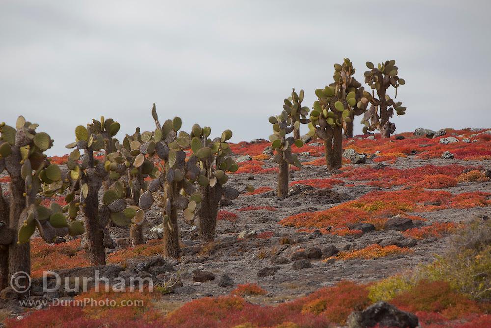Cactus tree(s) (Opuntia echios) surrounded by orange sesuvium plants (Sesuvium edmondstonei) on South Plazas Island, Galapagos Archipelago - Ecuador.