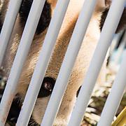 NLD/Amsterdam/20170412- Aankomst reuzenpanda's WU WEN en XING YA in Nederland, Panda