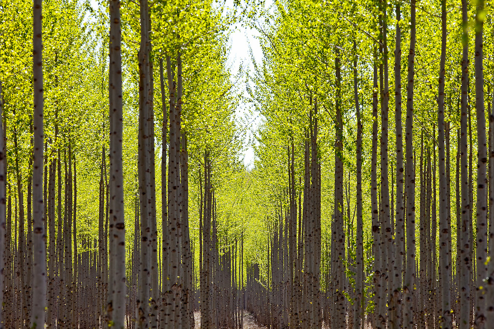 Editions of 17<br /> Poplar trees on tree farm create graphic repetition of natural tree forms and backlight