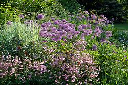 Allium hollandicum with Miscanthus sinensis 'Variegatus' and Aquilegia vulgaris var stellata 'Rosea' at Glen Chantry