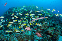 A Tumpetfish and Squirrelfishes amongst hundreds of Snappers.<br /> <br /> <br /> Shot at Cocos Island, Costa Rica
