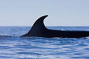 dorsal fin of Bryde's whale, Balaenoptera brydei or Balaenoptera edeni, off Cabo San Lucas, Baja California, Mexico ( Eastern Pacific Ocean )