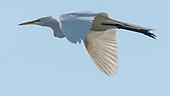 Egret, Great / Ardea alba