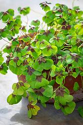 Oxalis tetraphylla 'Iron Cross' in a terracotta pot. Shamrock, Sorrel, Good luck plant.