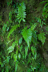 South America, Ecuador.  Ferns in cloud forest, Maquipucuna Biological Reserve,  4500+ hectares purchased by The Nature Conservancy.