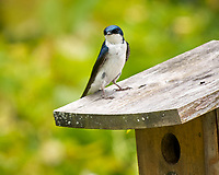 Tree Swallow. Image taken with a Nikon D2xs camera and 200 mm f/2 VR lens with a 1.4x TCE-II teleconverter.