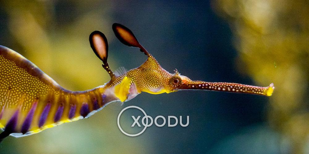 Weedy Sea Dragon closeup (Sydney, Australia - Dec. 2008) (Image ID: 081216-1258071a)