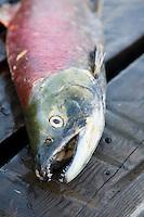 Sockeye Salmon left on dock by Grizzly Bear.