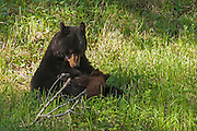 A black bear (Ursus americanus) nurses its cub in Yellowstone National Park, Wyoming. Black bear cubs are typically dependant on their mothers for milk for 30 weeks and become independent after 16 to 18 months.