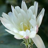 USA, California, San Diego county. Desert Chicory at Anza-Borrego State Park.