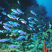 Creol Wrasse commonly swim in groups in the open water above deep reefs and especially along the edge of walls and dropoffs in the Tropical West Atlantic; picture taken Roatan, Honduras.