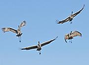 Sandhill Cranes (Grus canandensis) prepare for landing at the Bosque del Apache National Wildlife Refuge, near Socorro, New Mexico.