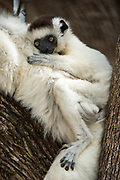 Verreaux's sifaka (Propithecus verreauxi)<br /> Berenty<br /> South Madagascar<br /> MADAGASCAR<br /> ENDEMIC<br /> Endangered
