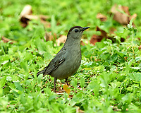 Gray Catbird. Image taken with a Nikon D800 camera and 500 mm f/4 VR lens