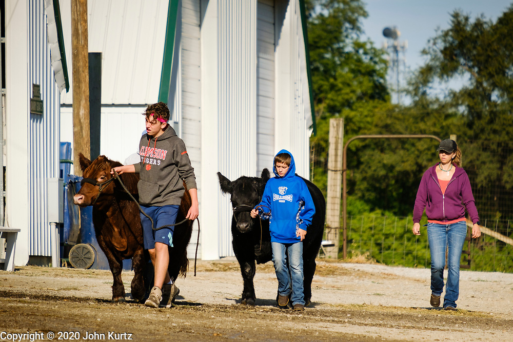 16 JULY 2020 - BOONE, IOWA: 4H contestants walk their beef cattle to the barns on the first day of the Boone County Fair in Boone. Summer is county fair season in Iowa. Most of Iowa's 99 counties host their county fairs before the Iowa State Fair. In 2020, because of the COVID-19 (Coronavirus) pandemic, many county fairs were cancelled, and most of the other county fairs were scaled back to concentrate on 4H livestock judging. Boone county scaled back its fair this year. The Iowa State Fair was cancelled completely. Boone County Emergency Management did not approve going ahead with the fair, and has advised anyone who goes to the fair to take precautions and monitor themselves for symptoms of the Coronavirus.            PHOTO BY JACK KURTZ