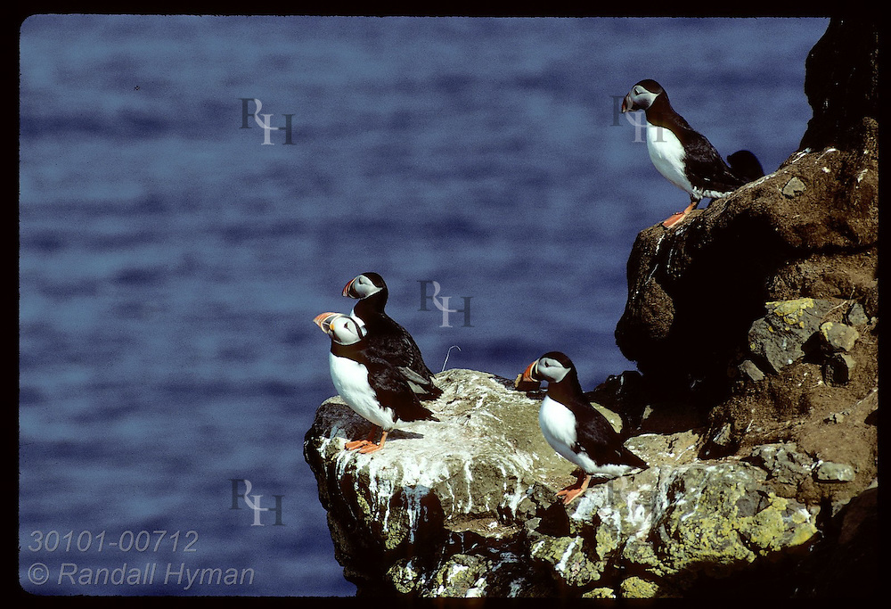 Puffins sit atop cliff on Heimaey Isle in Westmann Islands, home of world's largest puffin colony Iceland